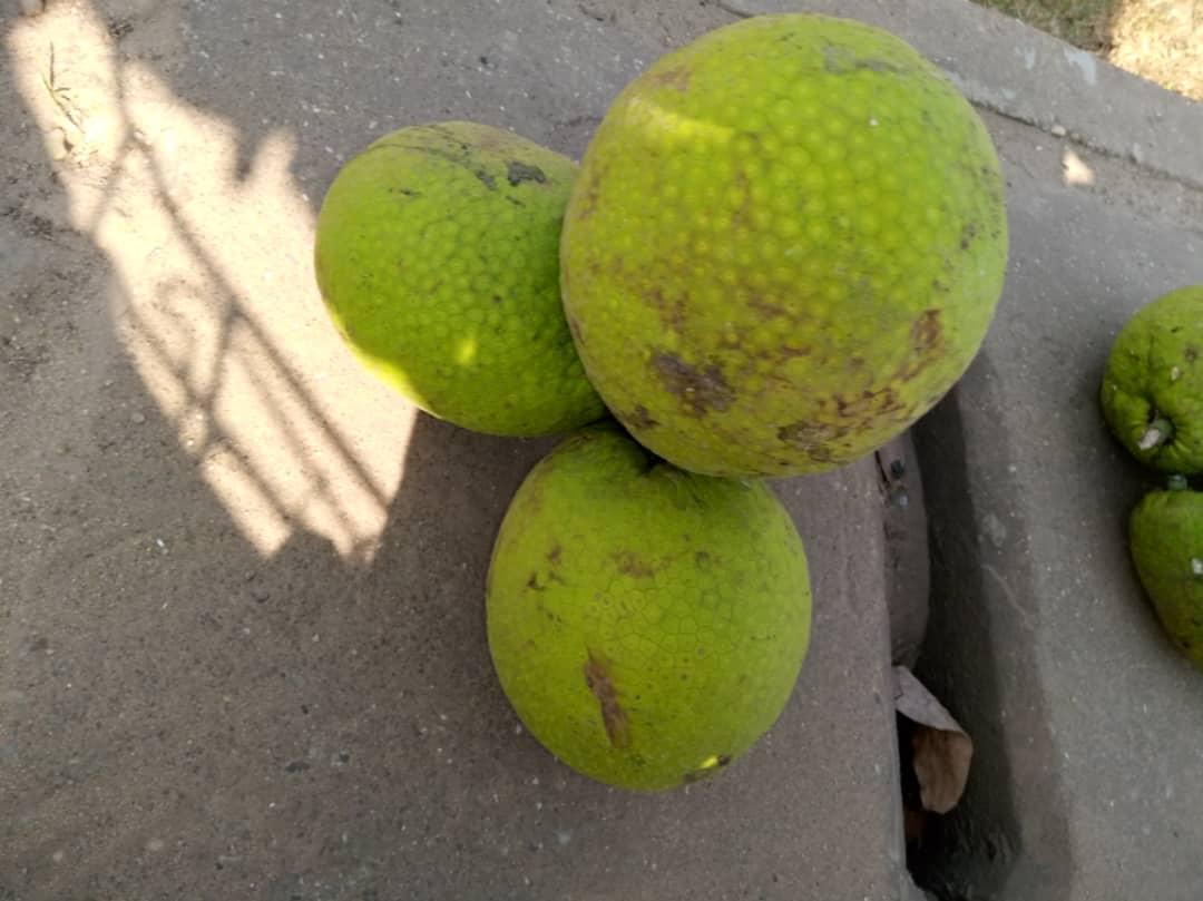 Fruit à pain - © Visiter le Bénin
