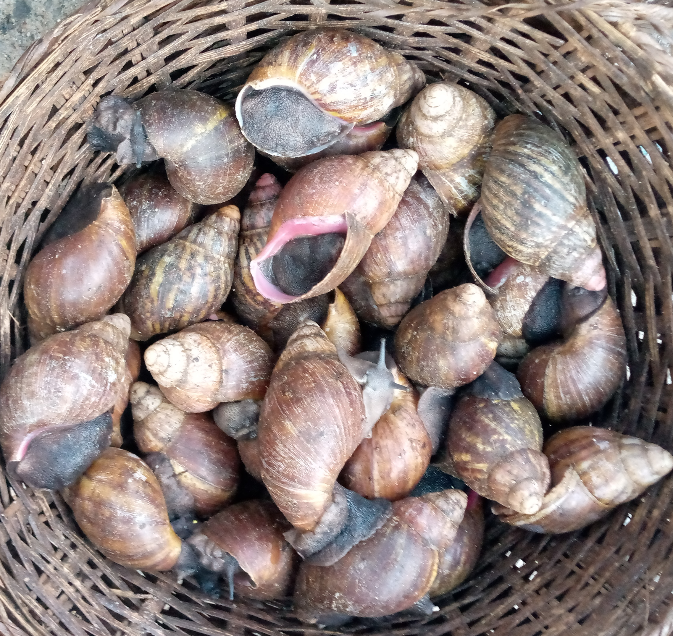 Escargot Achatine - © Visiter le Bénin