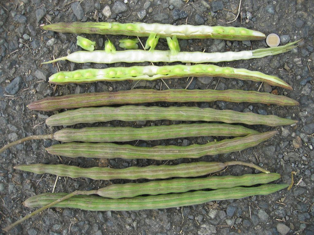 Fruits du Moringa Oleifera - © Wikipédia