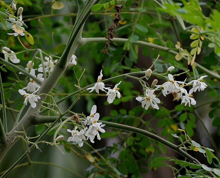 Fleurs du Moringa Oleifera - © Wikipédia